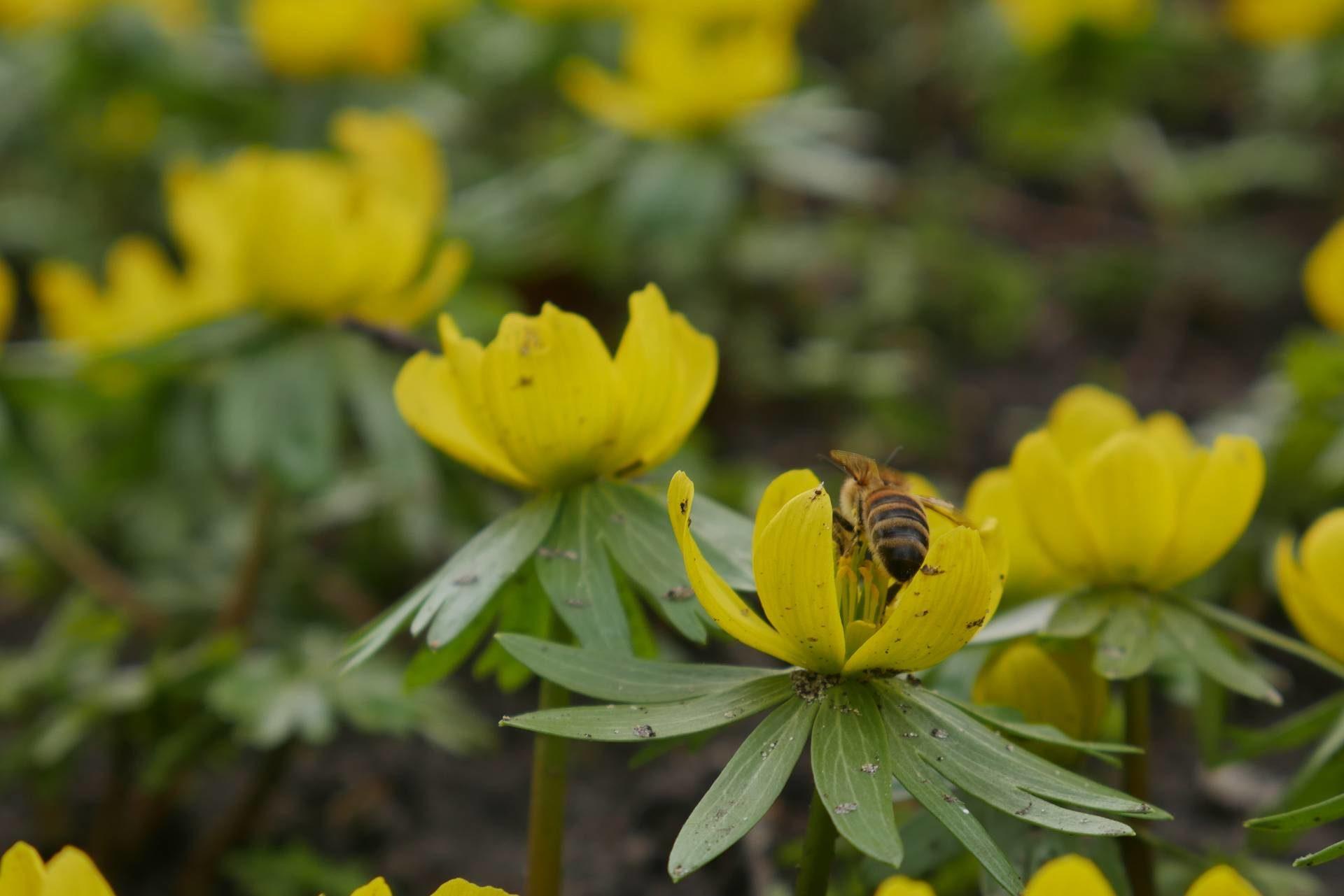 Biene und Winterling
