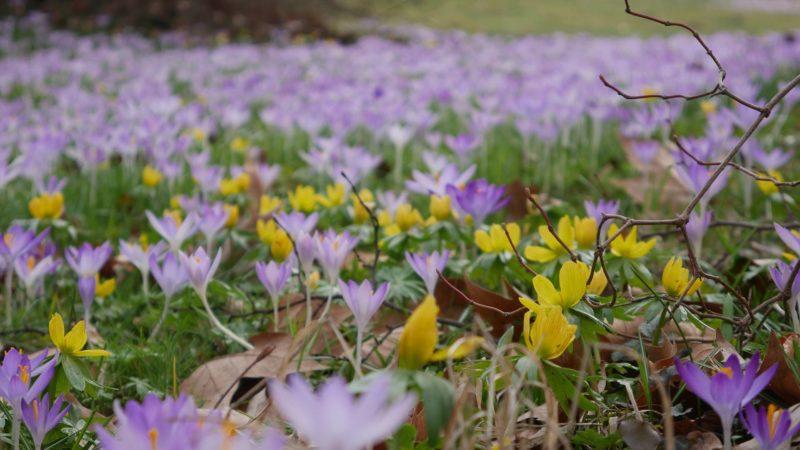 Frühling Aufbruchstimmung Winterling und Krokus