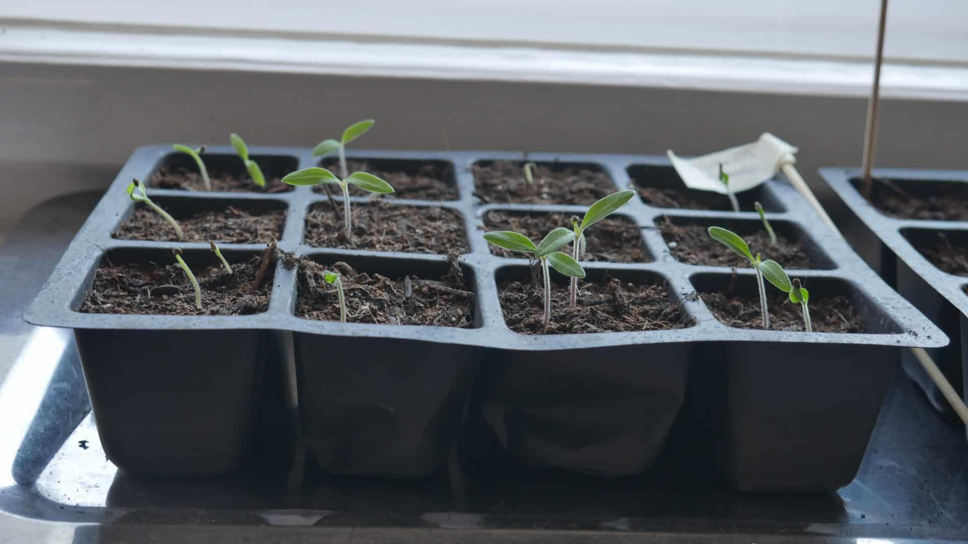 Tomaten Tigerella aus dem Funky Veg Kit