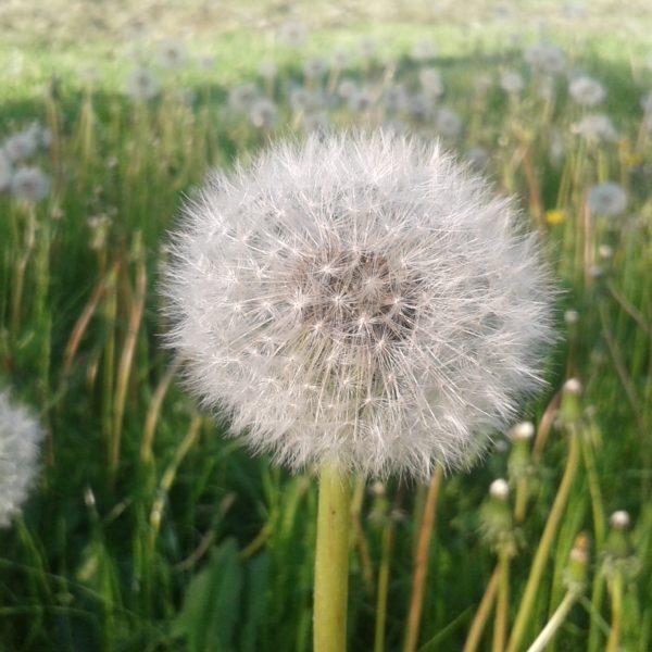 Naturnah Gärtnern Pusteblumenmeer