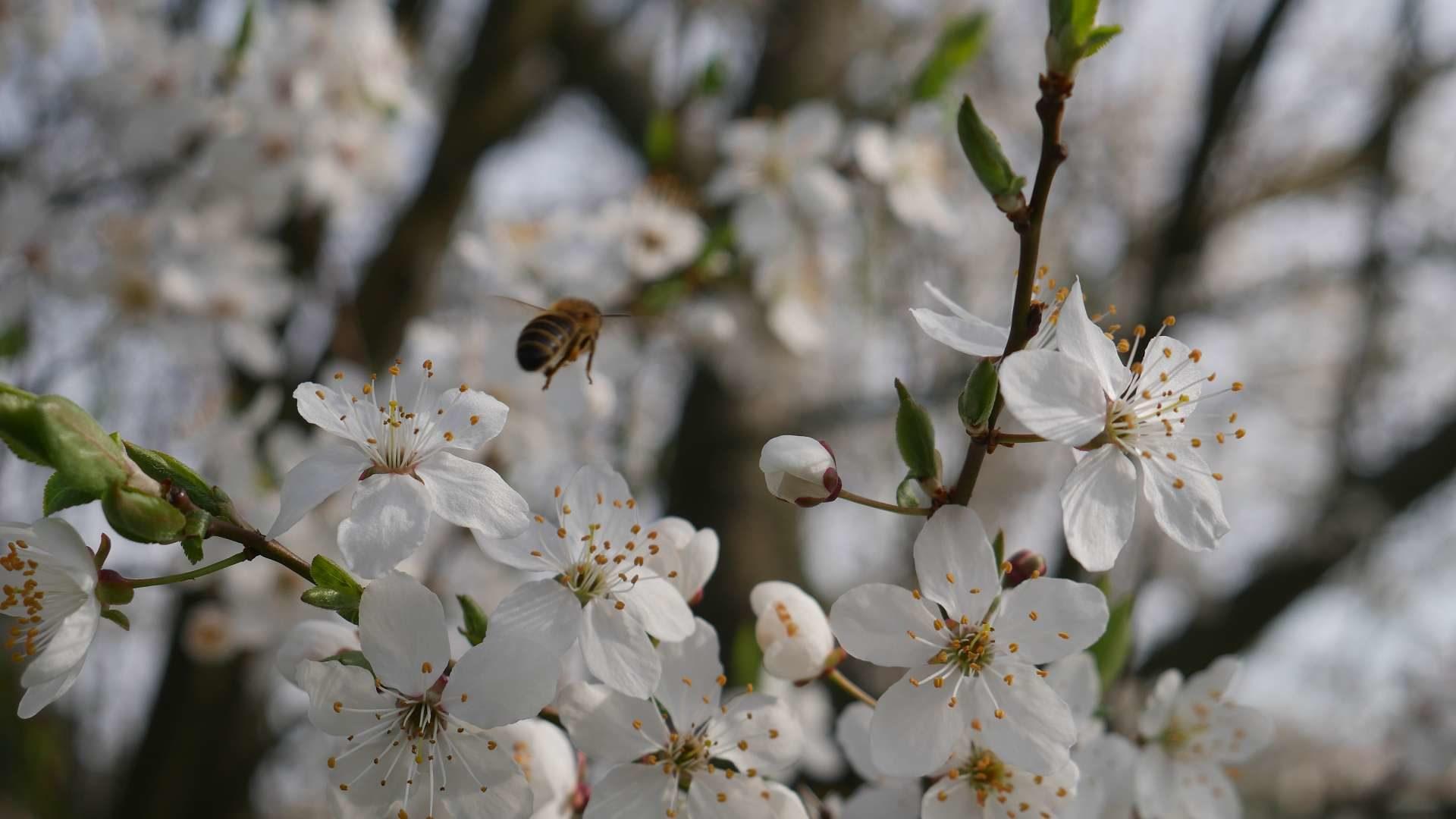 Mirabelle und Biene