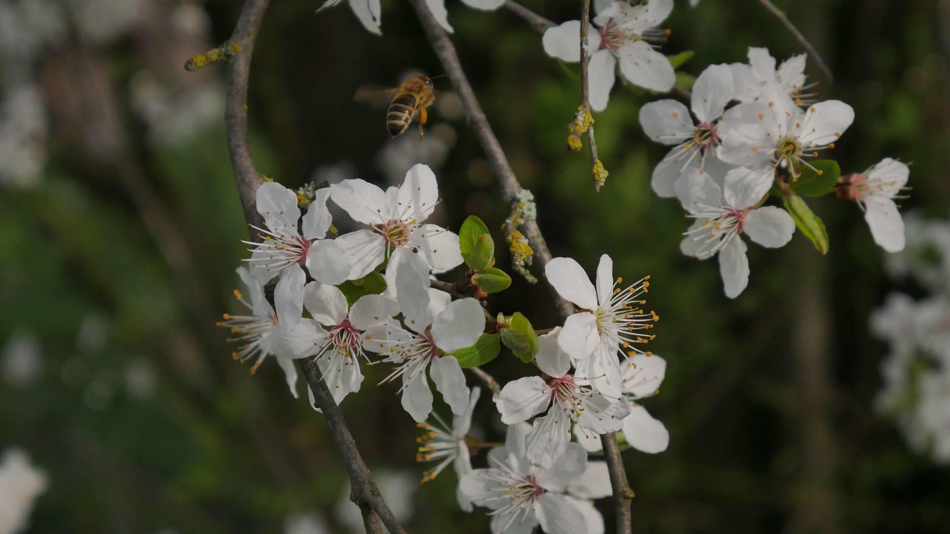 Flug der Biene