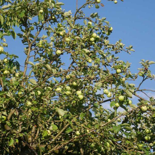Apfelbaumzweige