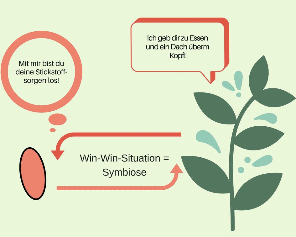 Knöllchenbakterien Symbiose