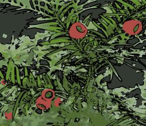 Früchte der Eibenhecke