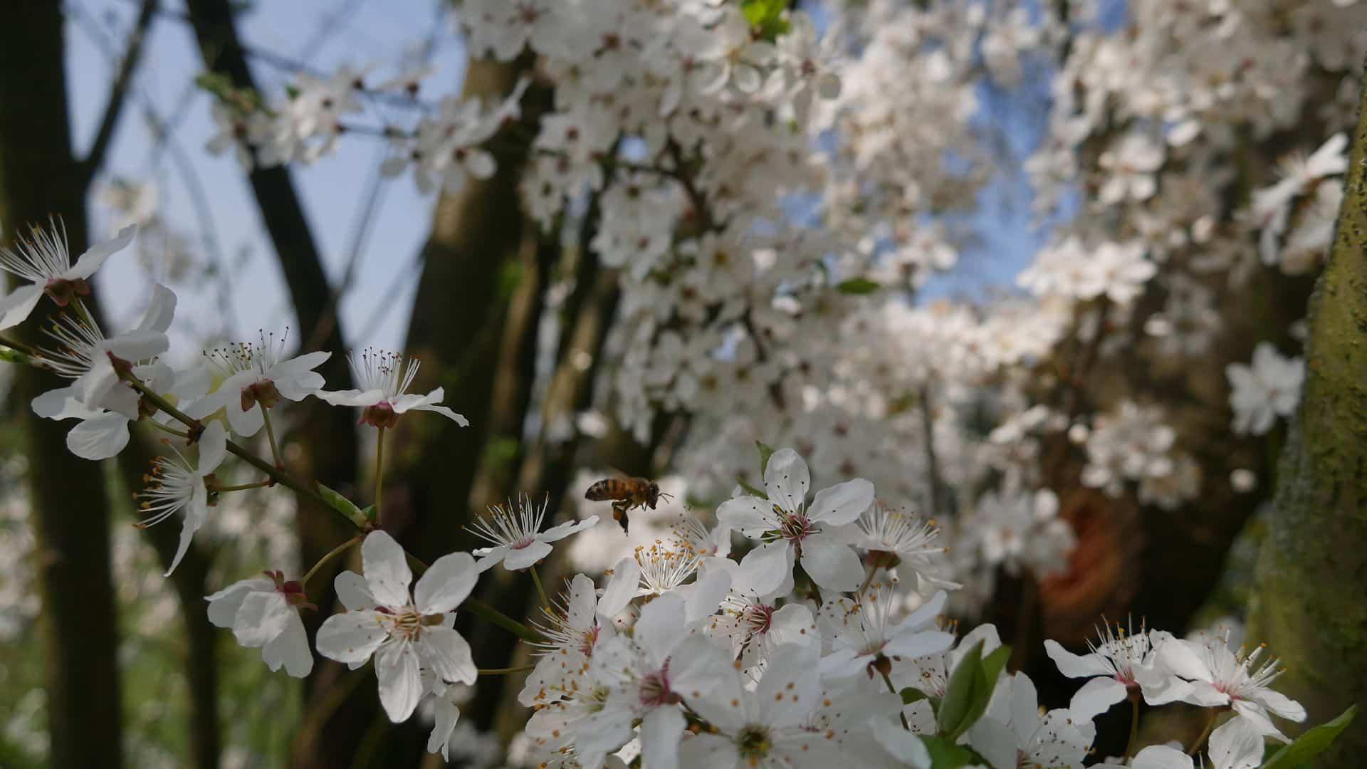 Mirabelle in voller Blüte