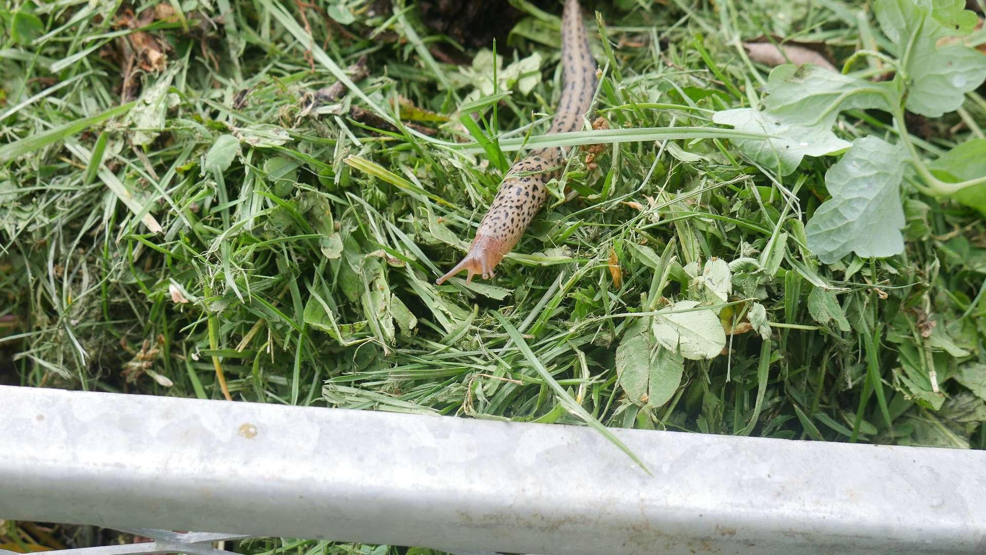 Tigerschnegel limax maximus