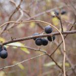 Die Schlehe mit Schlehenfrüchten