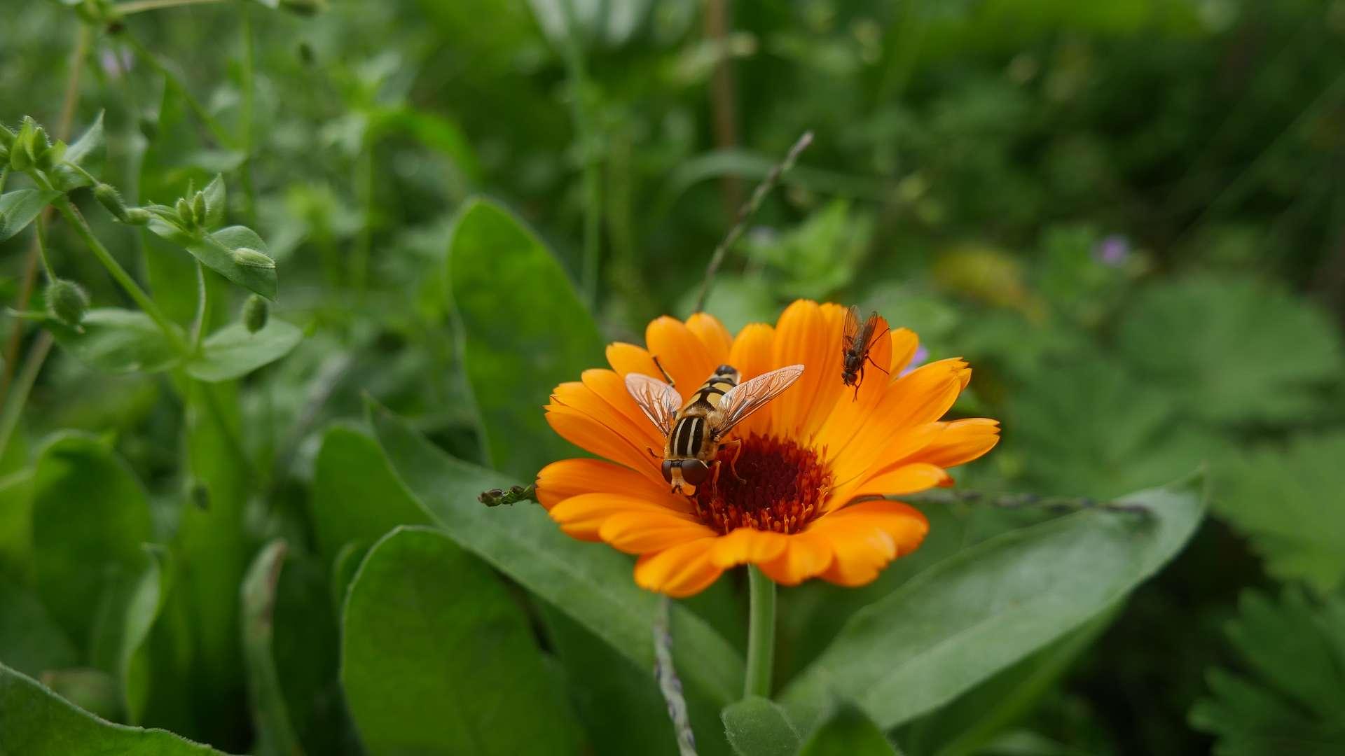Bestäubung gegen Blattläuse Naturgarten giftfreier Garten Gärtnern ohne Gift