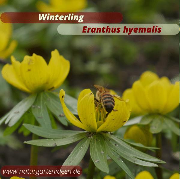 Winterling Eranthus hyemalis