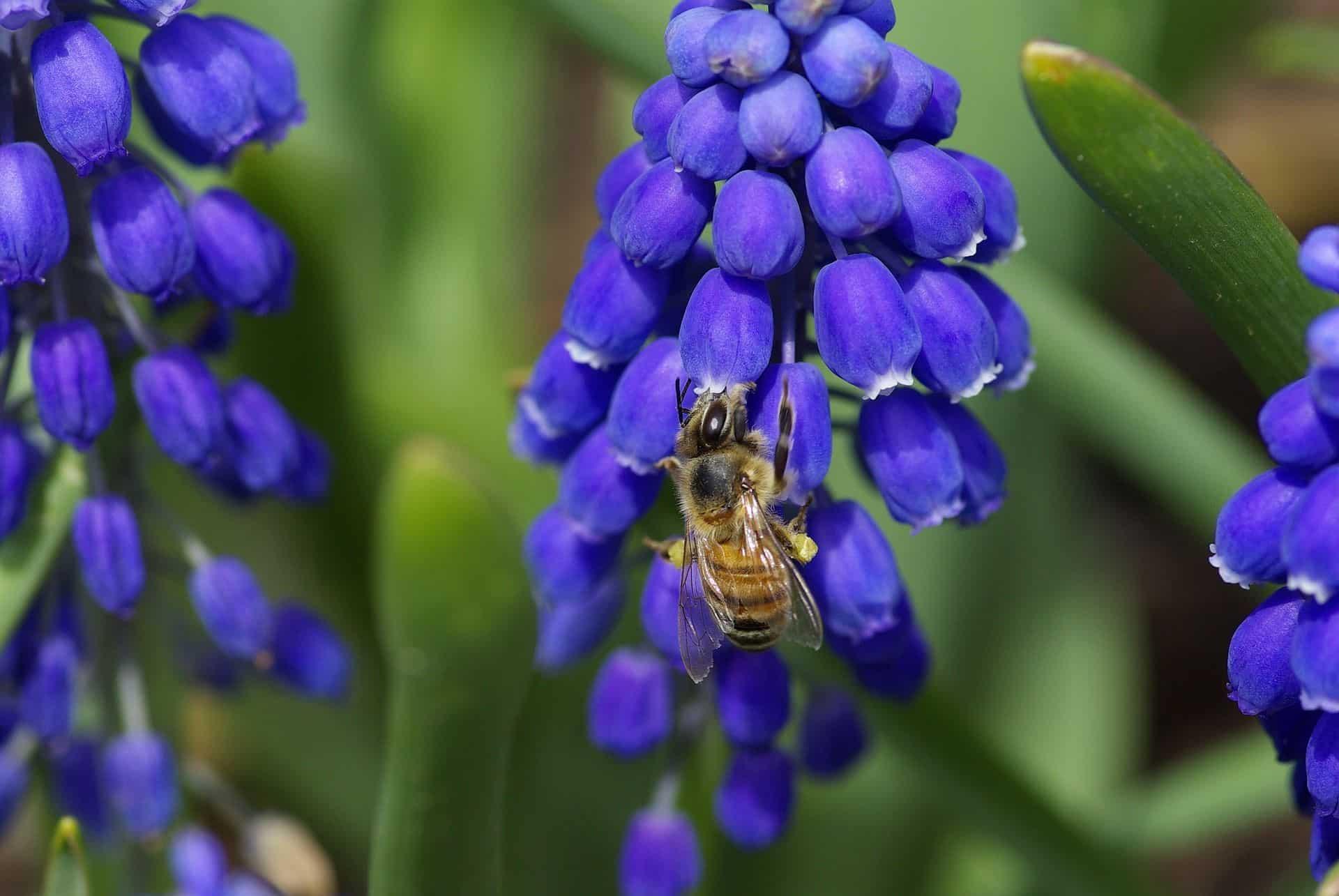 Frühlingsblumen pflanzen Bienenweide