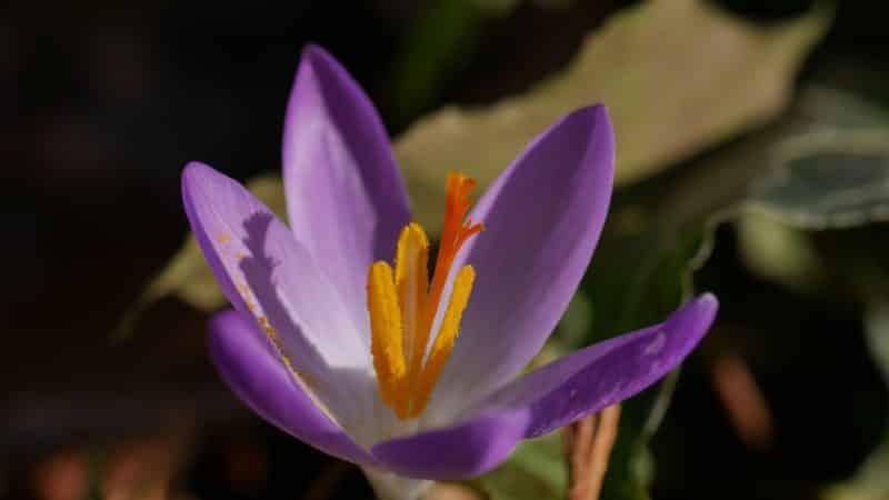 Frühlingsblumen Bienenweide elfen krokus