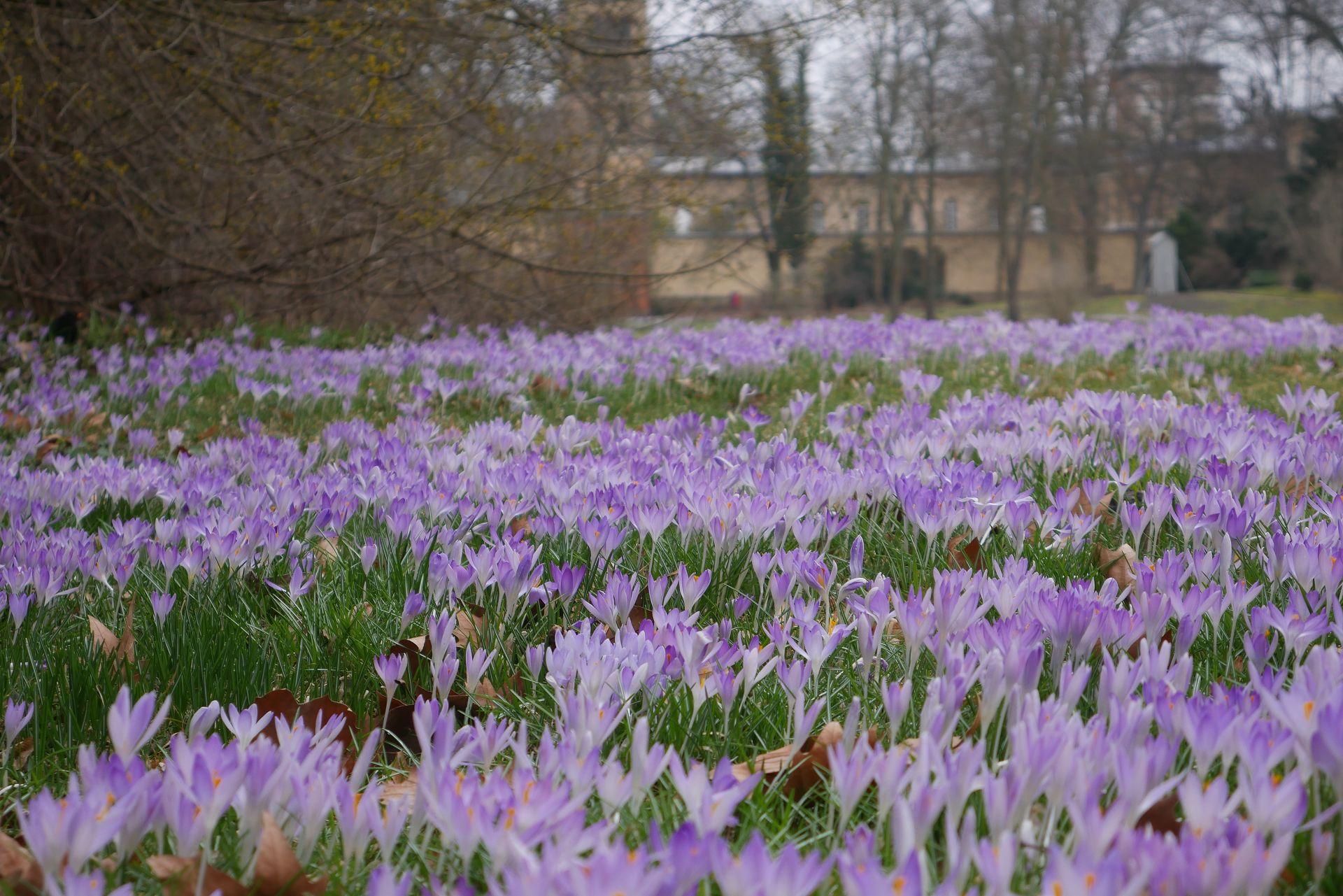 Elfenkrokusse als Frühlingsblumen und Bienenweise im zeitigen Frühjahr