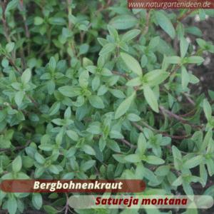 Bergbohnenkraut (satureja montana) als Bienenweide für das Mini-Hochbeet für Kräuter