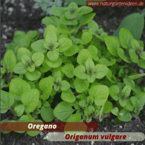 Oregano (Origanum vulgare) die Blüten sind eine tolle Bienenweide und wichtig für Wildbienen. Gut geeignet für ein Mini-Hochbeet für Kräuter auf dem Balkon