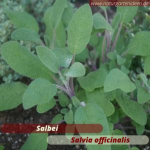 Salbei (salvia officinalis) ist gut geeignet für das Kräuterbeet auf der Terrasse oder dem Balkon. Die Blüten sind eine tolle Bienenweide. Wichtig für Wildbienen.