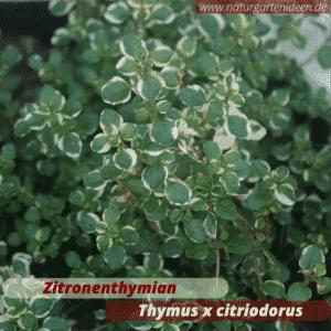 Zitronenthymian Thymus x citriodorus im Minihochbeet für die Terrasse
