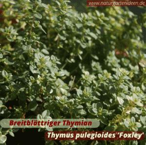 Breitblättriger Thymian (Thymus pulegioides 'Foxley' unterstützt Wildbienen auf dem Balkon