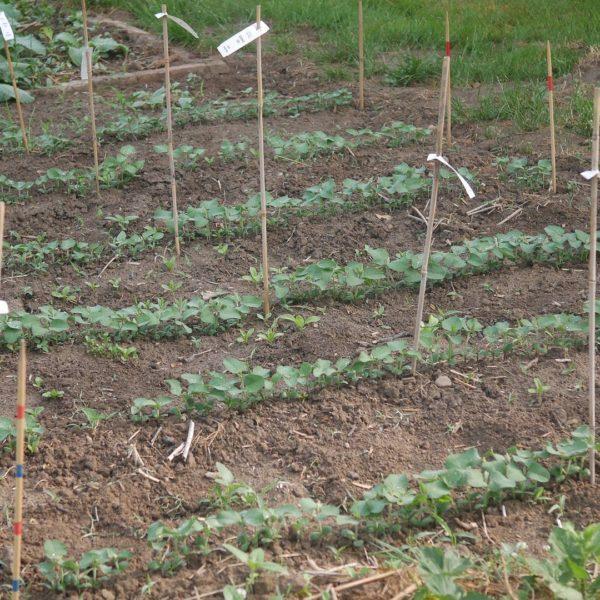 Soja Entwicklung Soja Wachstum Sojapflanzen wachsen