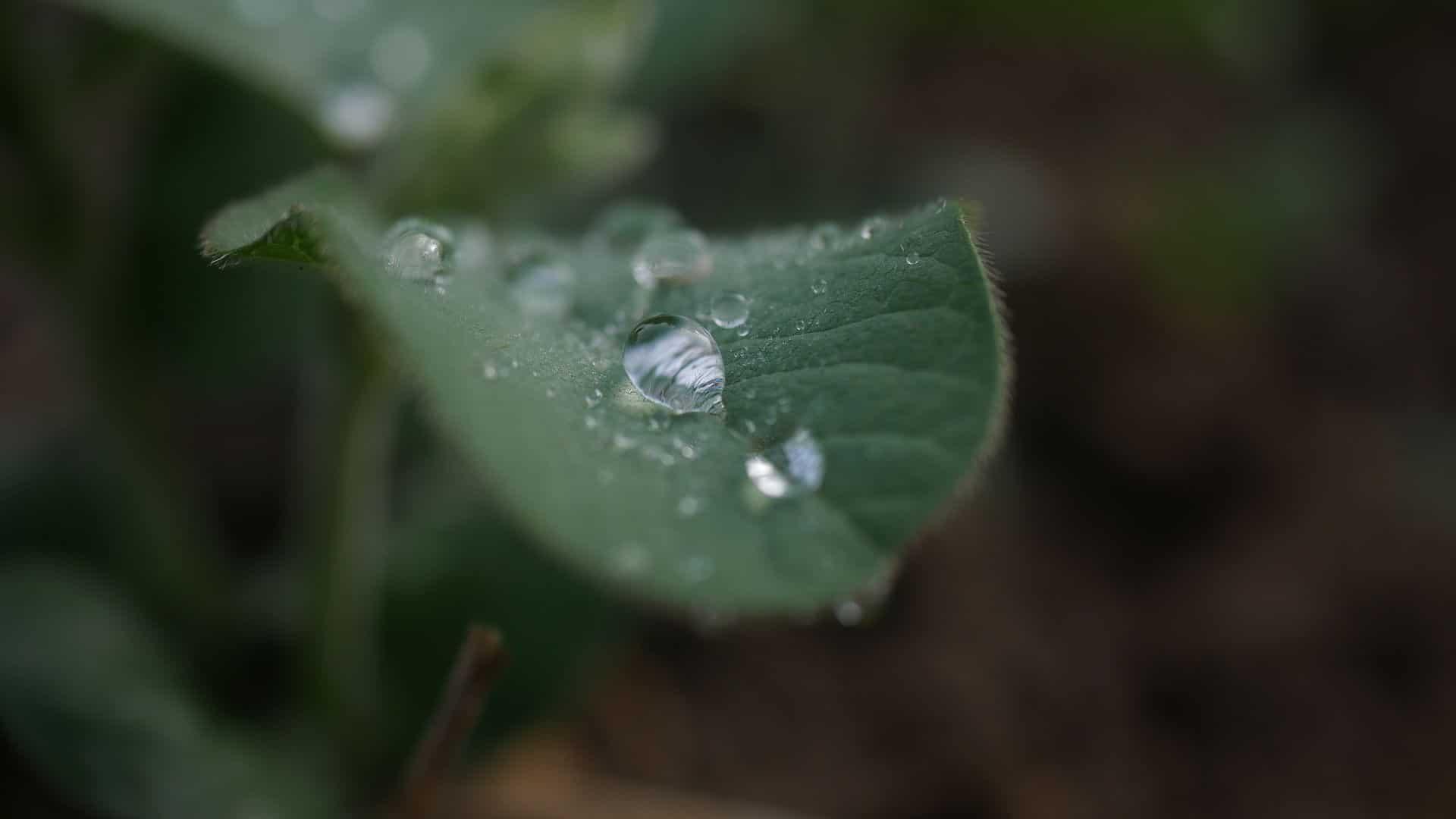 Sojapflanze Sojablatt