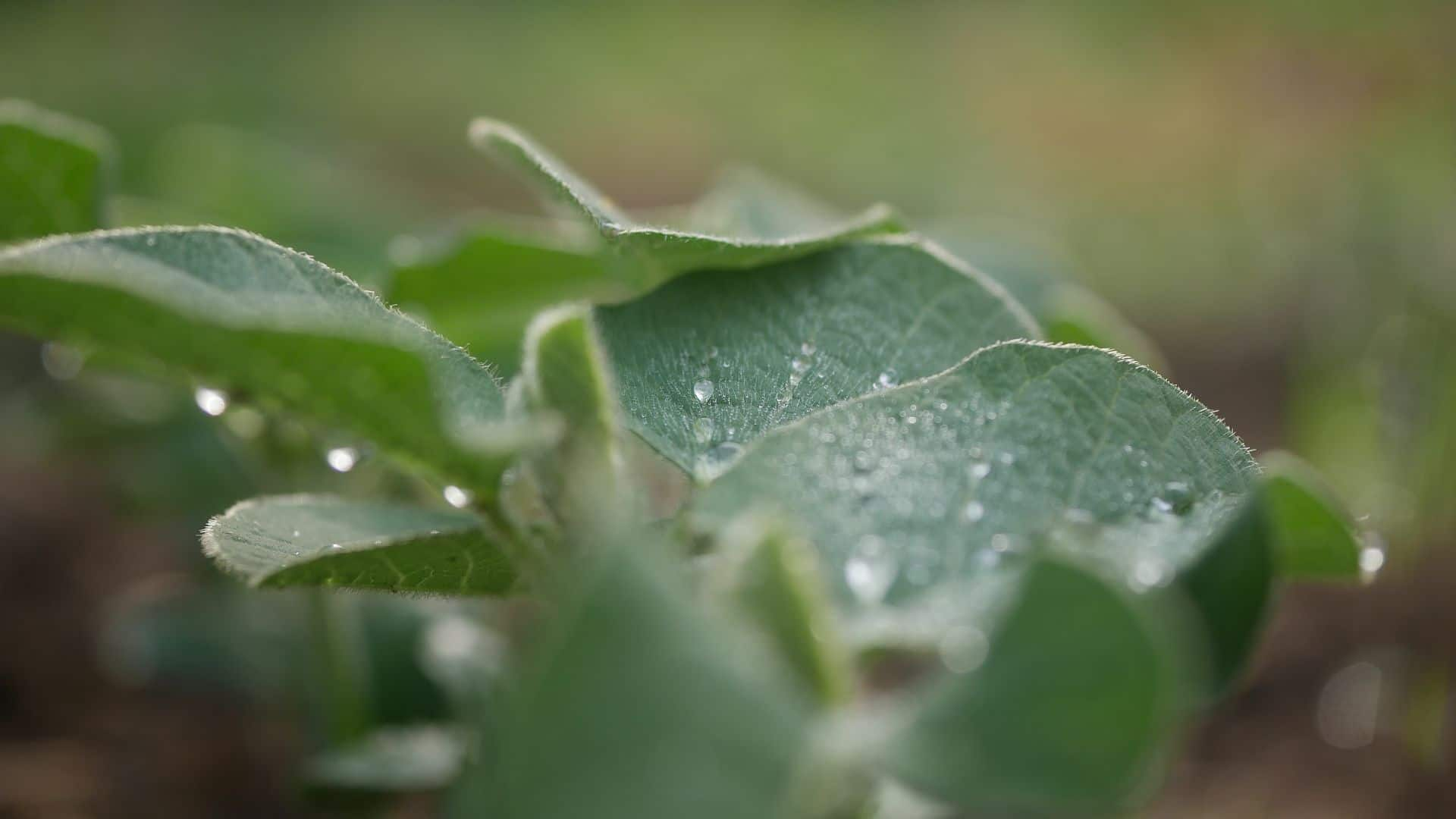 Eigenschaften Sojabohne Soja Knöllchenbakterium Soja Proteingehalt