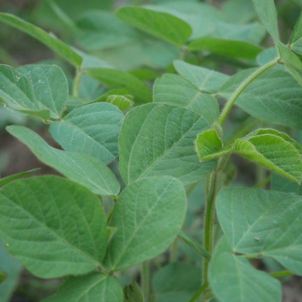 Sojapflanze, Sojaanbau