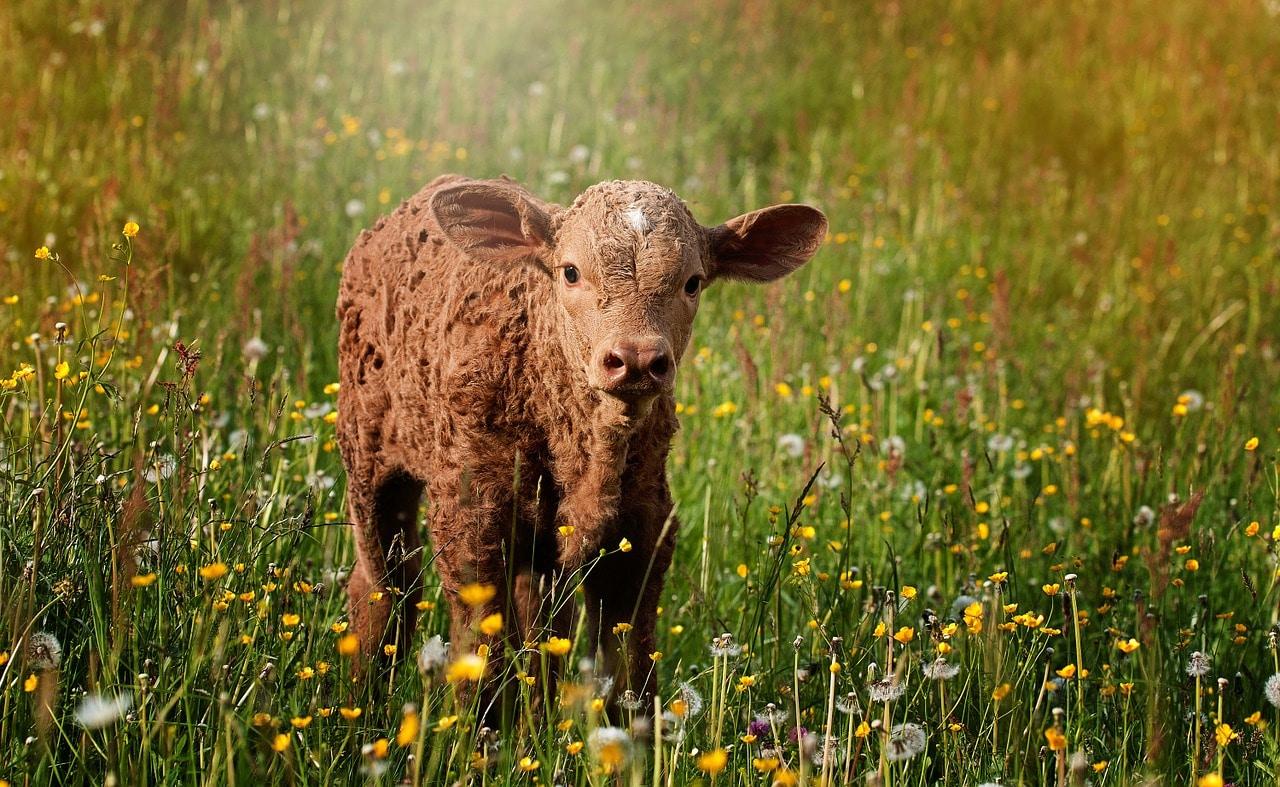 Soja als Tierfutter Soja in der Landwirtschaft