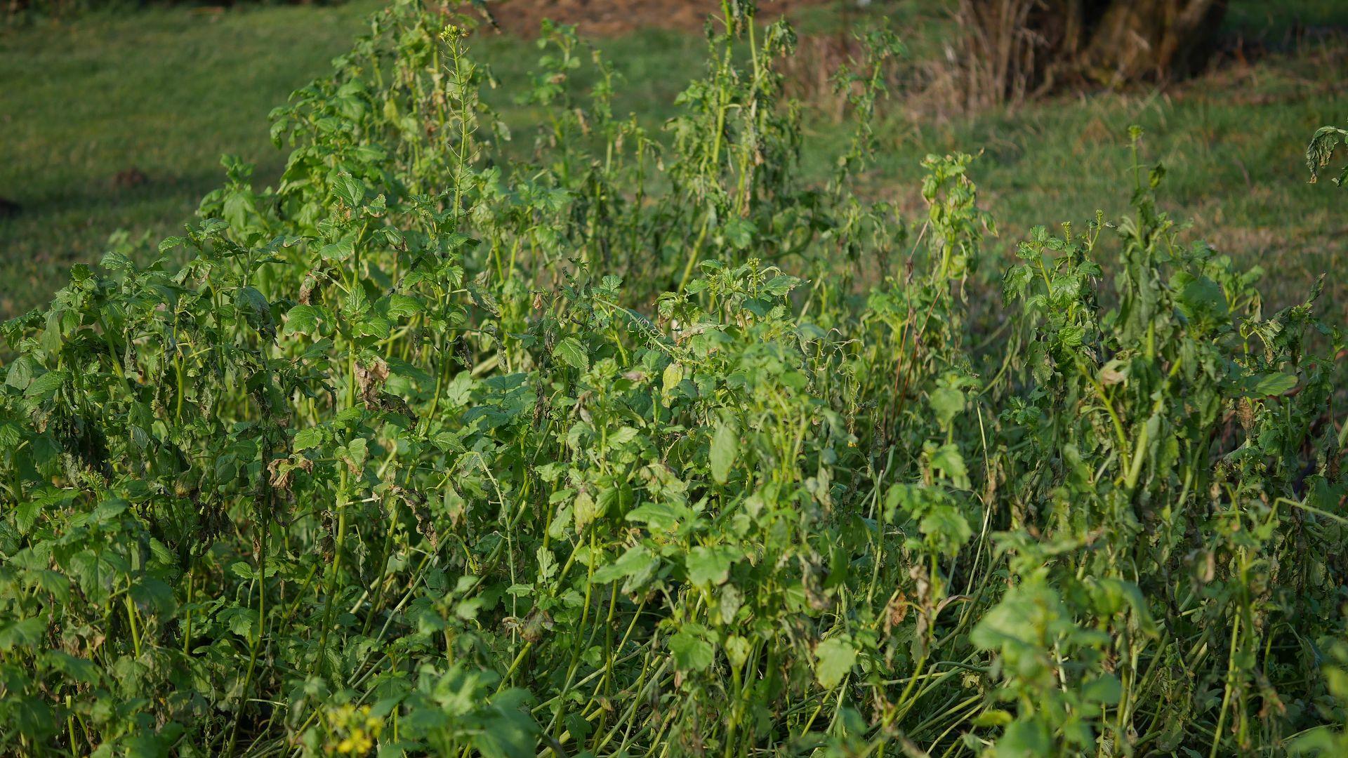 Gründung Senf Hügelbeet Hügelbeet Erfahrungen Hügelbeet Aufbau Hügelbeet anlegen Hügelbeet im Garten Gartenabfall wieder verwenden Hügelbeet Vorteile Hügelbeet Permakultur