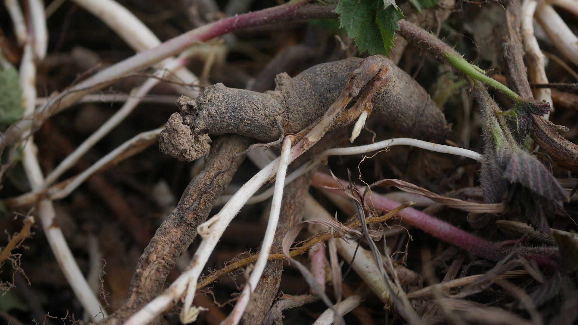 Brombeere entfernen invasive Brombeeren Brombeer Wurzeln Brombeeren im Garten Brombeer Fähigkeiten Brombeer Faszination Brombeer Eigenschaften Brombeeren verwildert