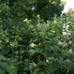 Brombeere entfernen invasive Brombeeren Brombeer Wurzeln Brombeeren im Garten Brombeer Fähigkeiten Brombeer Faszination