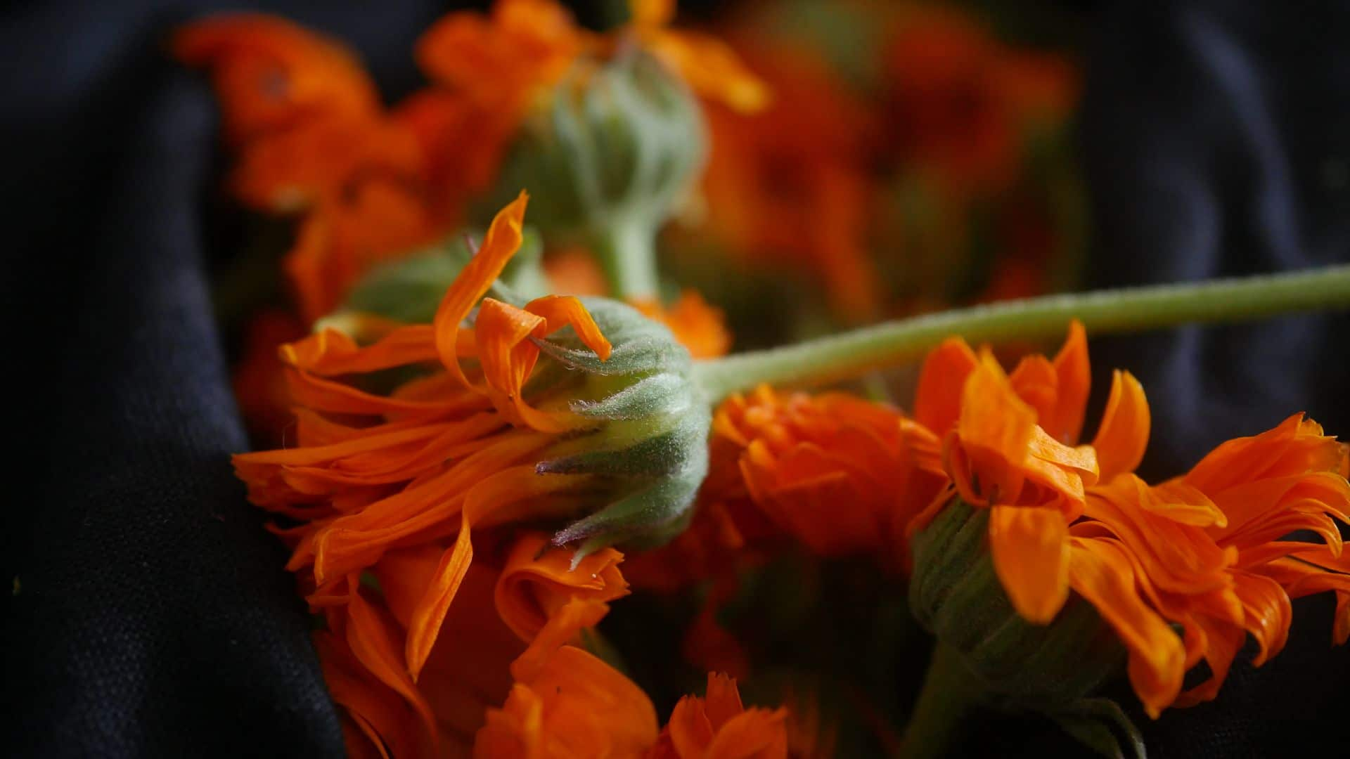 Ringelblumentinktur Calendula tinktur Ringelblumenblüte Ringelblumen Garten Ringelblumen bei Hautentzündungen Ringelblumen pflanzen Ringelblumen zur aüßerlichen Anwendung Ringelblumen tinktur Calendulatinktur Ringelblumenblätter Ringelblumen im Garten