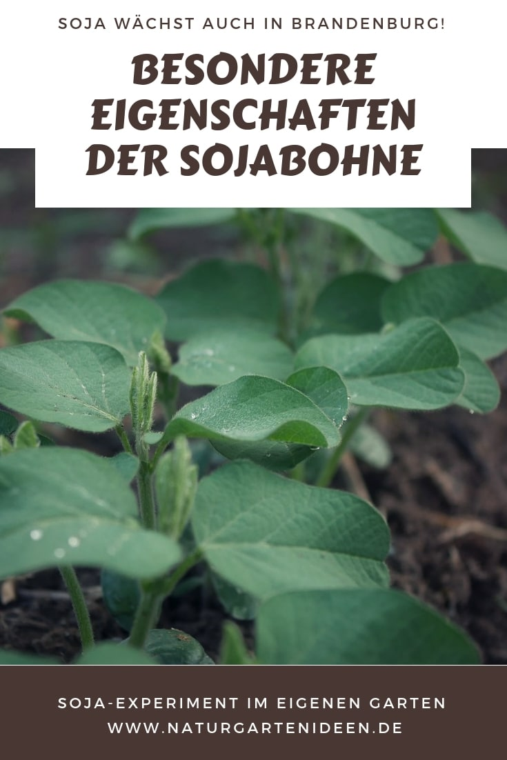 Eigenschaften der Sojabohne Soja anbau im Garten Soja Experiment Sojakonsum Diskussion Soja in Deutschland