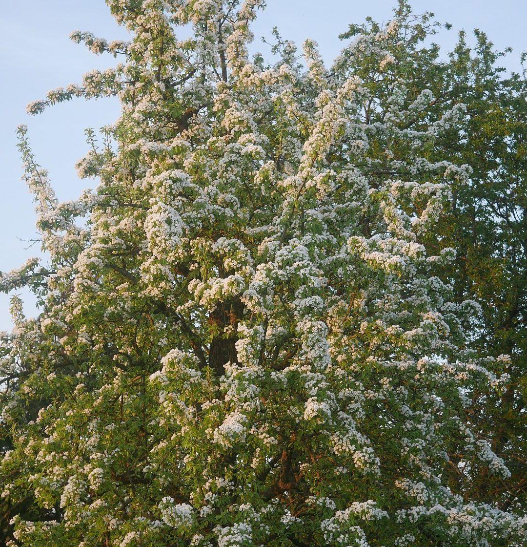 Gartenjahr 2018 Gartensaison 2018 Garteneinblick Gartenrundgang Gartenerlebnisse Gartenmomente Gemüse Korb Birnen Blüte