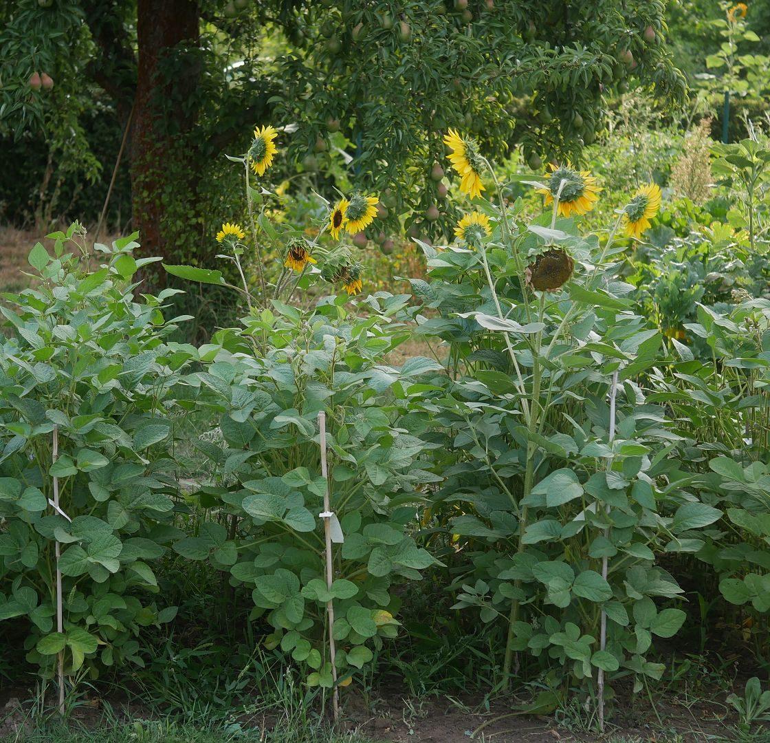 Gartenjahr 2018 Gartensaison 2018 Garteneinblick Gartenrundgang Gartenerlebnisse Gartenmomente Gemüse Korb Sojapflanzen Anbau Brandenburg