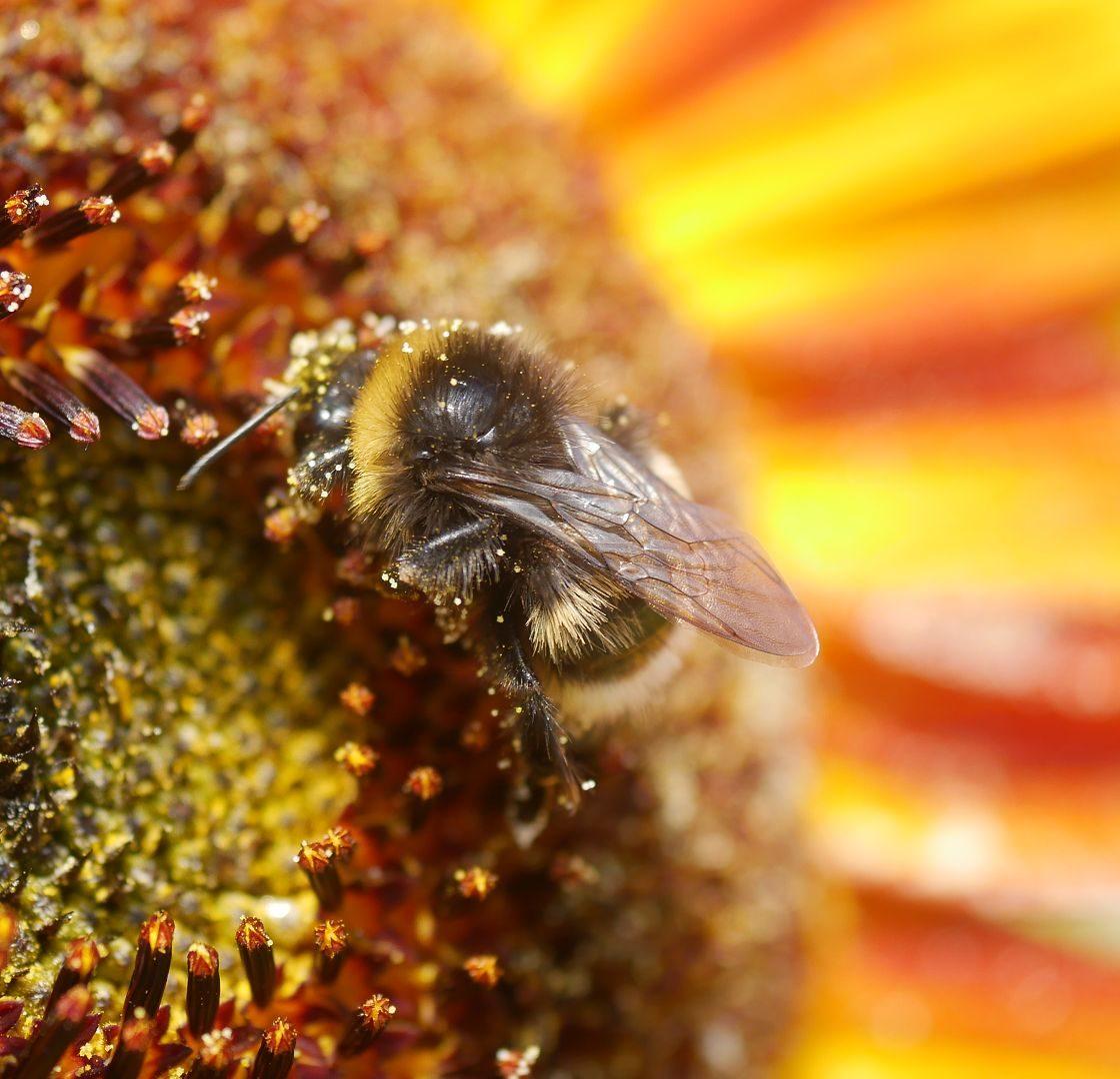 Sonnenblumensamen sonnenblumengarten sonnenblumen im garten helianthus annus Vorteile von Sonnenblumen Insektenfreundlich Bienenfreundlich sonnenblumenkerne vogelfutter sonnenblumenkerne gesund sonnenblume vorziehen sonnenblumensorten nützliche Sonnenblumen selbstaussähende Pflanzen Sonnenblumen im Naturgarten