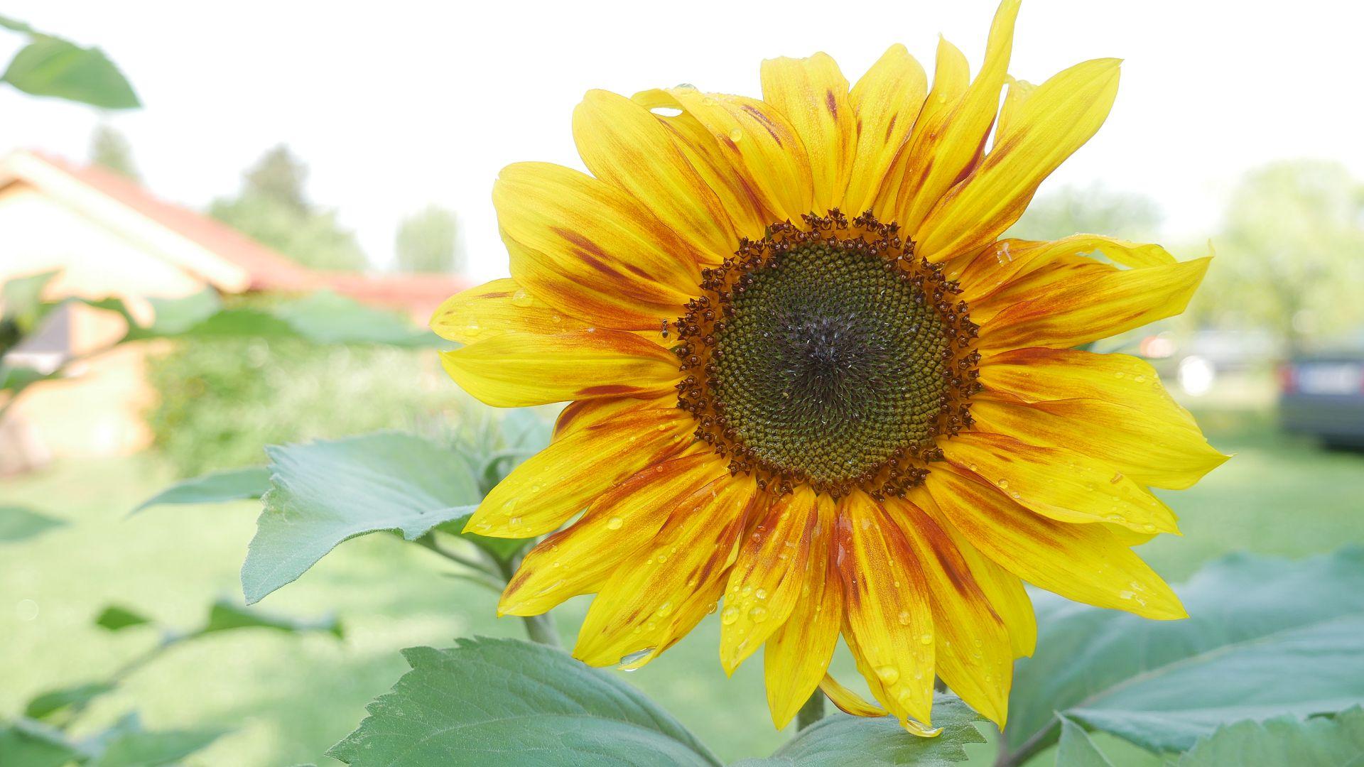 Sonnenblumensamen sonnenblumengarten sonnenblumen im garten helianthus annus Vorteile von Sonnenblumen Insektenfreundlich Bienenfreundlich sonnenblumenkerne vogelfutter sonnenblumenkerne gesund sonnenblume vorziehen sonnenblumensorten nützliche Sonnenblumen selbstaussähende Pflanzen Sonnenblumen im Naturgarten Sonnenblumenblüte