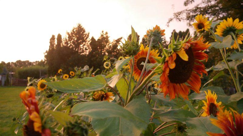 Sonnenblumensamen sonnenblumengarten sonnenblumen im garten helianthus annuus Vorteile von Sonnenblumen Insektenfreundlich Bienenfreundlich sonnenblumenkerne vogelfutter sonnenblumenkerne gesund sonnenblume vorziehen sonnenblumensorten nützliche Sonnenblumen selbstaussähende Pflanzen Sonnenblumen im Naturgarten