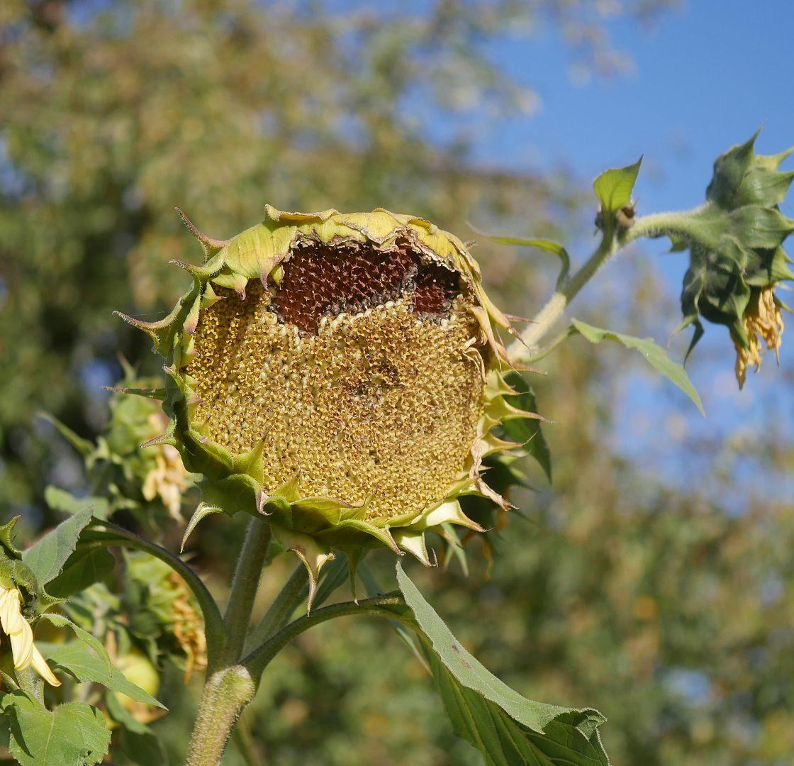 Sonnenblumensamen sonnenblumengarten sonnenblumen im garten helianthus annus Vorteile von Sonnenblumen Insektenfreundlich Bienenfreundlich sonnenblumenkerne vogelfutter sonnenblumenkerne gesund sonnenblume vorziehen sonnenblumensorten nützliche Sonnenblumen Sonnenblumen ernte