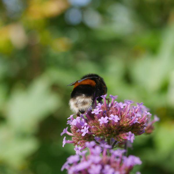 Bienenpflanze Bienenweide bienenfreundliche Pflanzen bienenfreundlicher Garten Naturgarten Nahrungsangebot für Bienen Artenschutz Nektar für Bienen Pollen für Bienen Bienenweide anlegen Bienenpflanzen im Garten