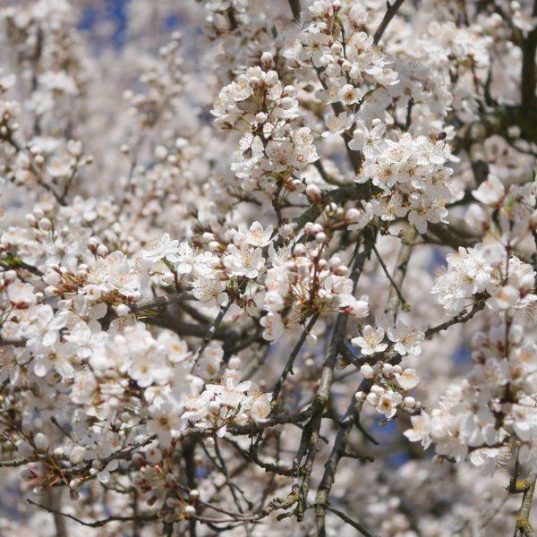 Kirschpflaumen Blüte Kirschpflaume oder Mirabelle Bienenpflanze Kirschpflaume Süße Frucht Kirschpflaume bienenfreundliche Obstgehölze frühe Blüte Kirschpflaume Nektar Pollen Insektennahrung Unterschied Mirabelle Kirschpflaume