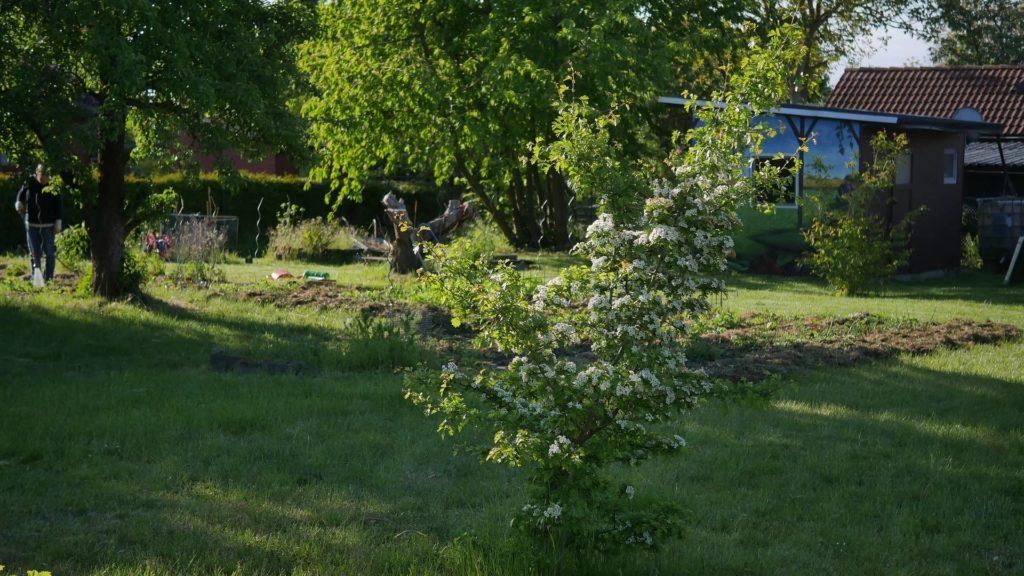 Weißdorn Hecke eingriffeliger weißdorn zweigriffeliger weißdorn weißdorn heimische pflanzen Bienenpflanzen Weißdornbeeren Weißdorn Nahrungen Insekten Nahrung Mensch Nahrung Vögel Weißdorn Marmelade Weißdorn strauch Weißdorn Baum weißdorn naturgarten weißdorn als Hecke Weißdorn dornen